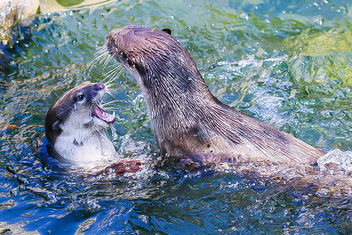 Otters at play - image gratuit #467147