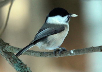 The willow tit on the branch. - image gratuit #467267