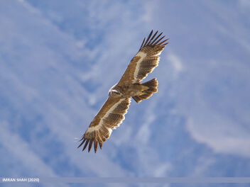 Steppe Eagle (Aquila nipalensis) - Kostenloses image #469477
