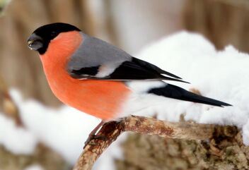 The beautiful bullfinch - Kostenloses image #469797