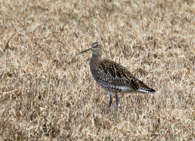 The curlew in the sunny field. - Free image #470007