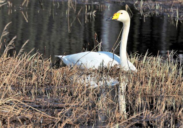Swan and spring sunny afternoon - Free image #470247