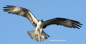 Osprey, carrying a fish, off the coast of Dauphin Island, Alabama,Gulf of Mexico - image #470497 gratis