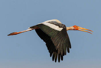 A Painted Stork Surveying a new subject in the area (ME!) - image #470917 gratis