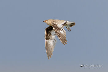 A Small Pratincole Flying over the lake - image #470957 gratis