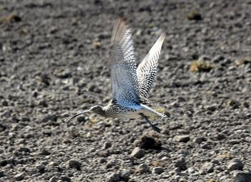 Curlew,,,and wings - image gratuit #471057
