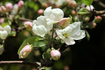 Flowering flowers of apple tree - image gratuit #471457