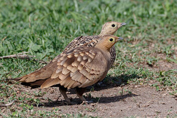 A Male and Female Chestnut Bellied Sandgrouse - image #471547 gratis