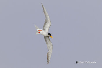 A River Tern surveying the visitors - Free image #471637