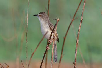 A Prinia playing around during Sunset - Free image #471727