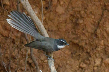 A Spot Breasted Fantail hunting insects - image #471767 gratis