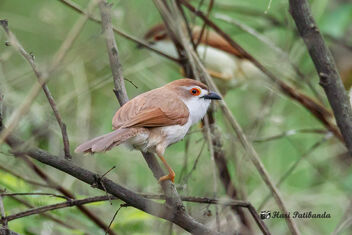 An Yellow Eyed Babbler - Wary of a larger bird nearby - image #471917 gratis