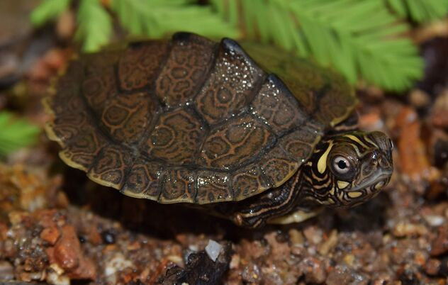 Ouachita map turtle (Graptemys ouachitensis) - Free image #472057