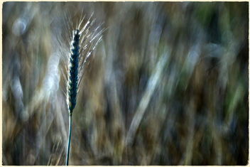 The wheat days. - image #472127 gratis