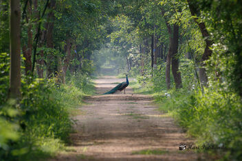 A Peacock on the Jungle Camp driveway in the morning - image #472207 gratis
