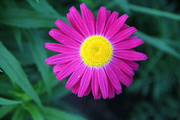 Red daisy - Free image #472397