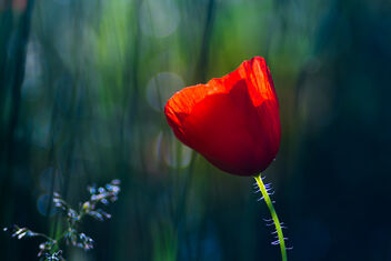 Red Poppy - Free image #472457