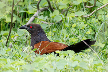 A Greater Coucal looking to raid nests - image #472547 gratis
