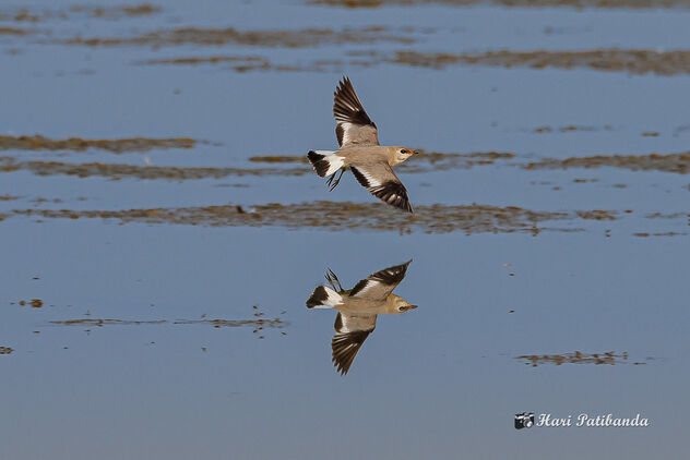 An Oriental Pratincole playing over the lake - image #472677 gratis