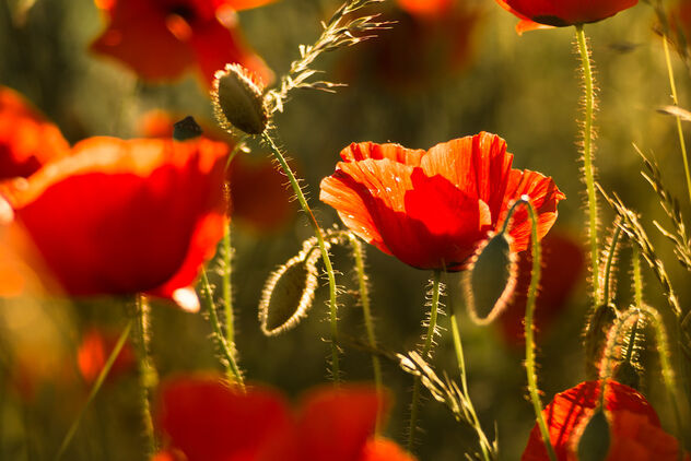 Red Poppy Field - image gratuit #473397