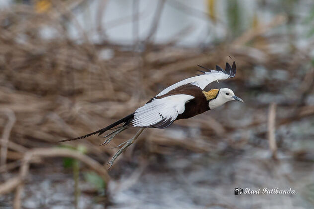 A Pheasant Tailed Jacana Flying Away - image #473427 gratis