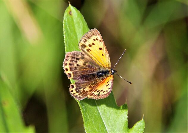 Scarce copper - image gratuit #473767
