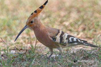 A Eurasian Hoopoe blocking the road - image #475297 gratis