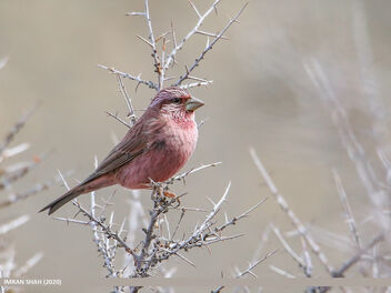 Red-Mantled Rosefinch (Carpodacus rhodochlamys) - image gratuit #475667