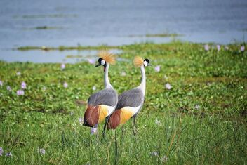 Grey Crowned Cranes - image gratuit #475707