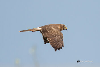 A Pallid Harrier in Flight during the morning Hunt - image gratuit #475717