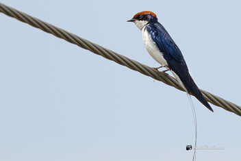 A Wire Tailed Swallow on a wire - image gratuit #475767