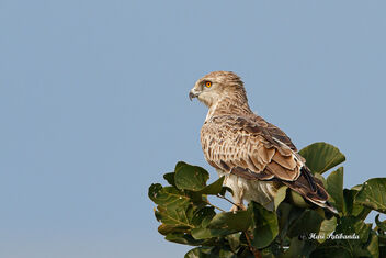 A Short Toed Snake Eagle Roosting late after sunrise - image gratuit #475817