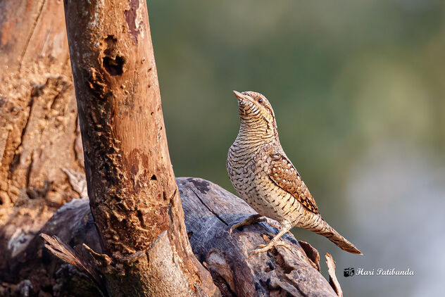 A Rare Eurasian Wryneck on a bare tree branch - image #475847 gratis