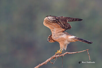 A Montagu's Harrier Flying away - Free image #475887