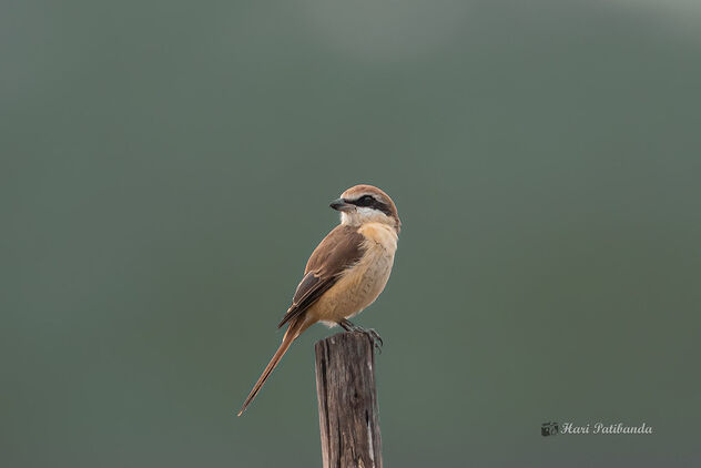 A Brown Shrike on a Lovely Perch - Free image #476567