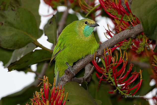 A Female Jerdon's Leafbird checking flowers for nectar - Free image #476627