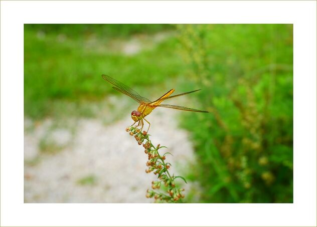 Golden dragonfly - Free image #476647