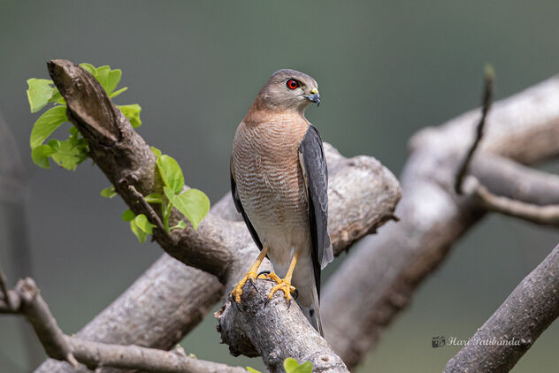 A Shikra / Little Banded Goshawk waiting to Strike - Free image #476697