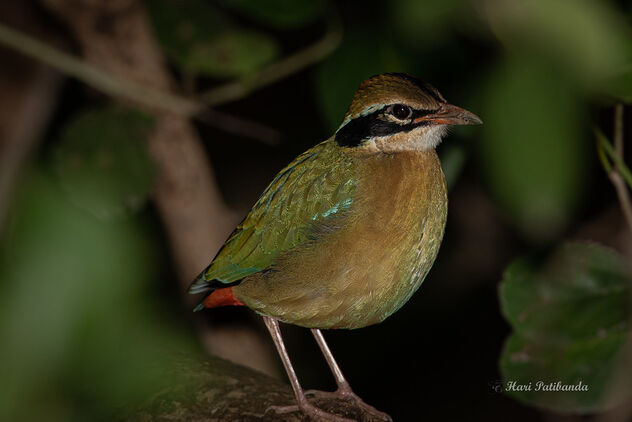 An Indian Pitta deep in the Bushes - Free image #476707