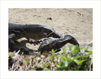 Monitor lizard and its food - Kostenloses image #477417
