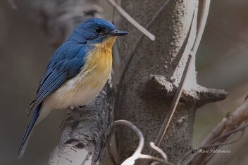 A Tickell's Blue Flycatcher busy at work - Free image #477627
