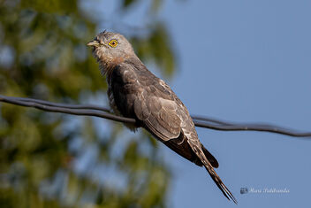 A Common Hawk Cuckoo Readying for the day - Free image #477687