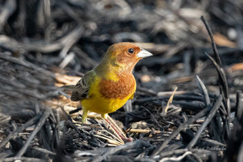 A Red Headed Bunting Foraging in the burnt paddyfields - Free image #477717