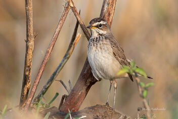 A Female Bluethroat actively looking for insects - image #477767 gratis