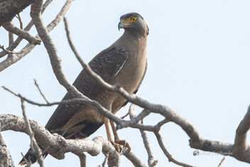 A Crested Serpent Eagle Waiting for the hot sun - image #477827 gratis