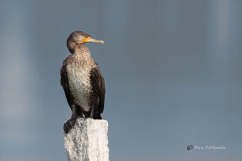 A Great Cormorant in Breeding plumage sunbathing - image gratuit #478637