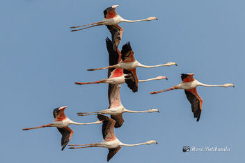 Pelicans in a brief Flight and back to the lake - image gratuit #478747