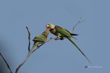 A Male with another - Alexandrine Parakeets - image gratuit #478777