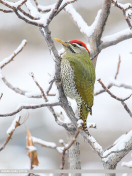 Scaly-bellied Woodpecker (Picus squamatus) - image #479807 gratis